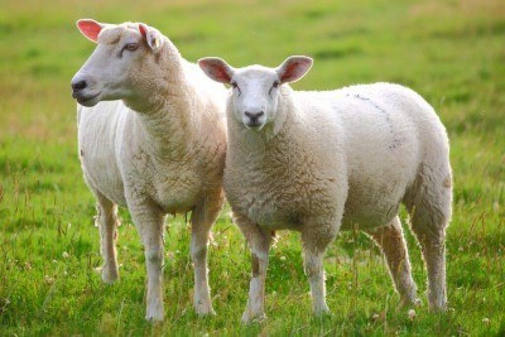 Ziraat Bankası Sıfır Faizli Koyun Kredisi
